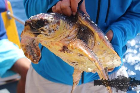 Rocio, the rescued Loggerhead turtle